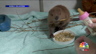 Baby Beaver rescue In Oklahoma